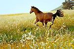 Quarter Horses, San Luis Obispo on the Central Coast of California