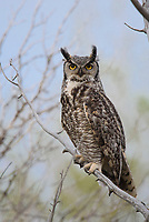 Adult female Great Horned Owl (Bubo virginianus). Sublette County, Wyoming. May.