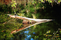 A broken tree trunk with its reflection on a beaver pond. Allegheny Forest, New York.