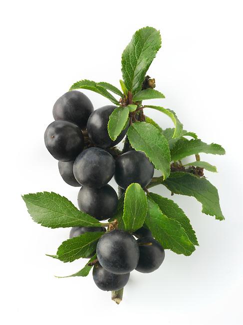 Fresh sloe berries fron the blackthorn bush (Prunus spinosa )