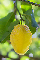 """Europe/France/Provence-Alpes-Côte d'Azur/Alpes-Maritimes/Menton: Citron de Menton - La Citronneraie est située à flanc de la colline de l'Annonciade, berceau de Menton //Europe/France/Provence-Alpes-Côte d'Azur/Alpes-Maritimes/Menton: Lemon variety: Citron de Menton - La Citronneraie is situated on the hillside of the """"Annonciade"""", the cradle of Menton,"""