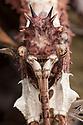 Malayan Jungle Nymph {Heteropteryx dilatata} subadult male. Captive, originating form Malaya. website