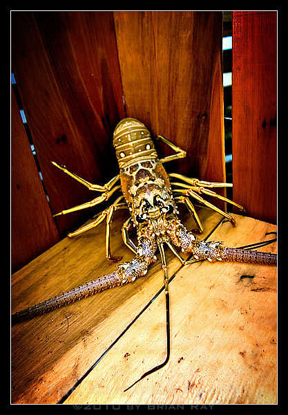 A single lobster backs itself into a corner as it waits to be measured by Lawlor who will decide whether the crustacean is large enough to legally retain, or if it must be tossed back into the ocean to grow larger and hopefully be caught again next year.