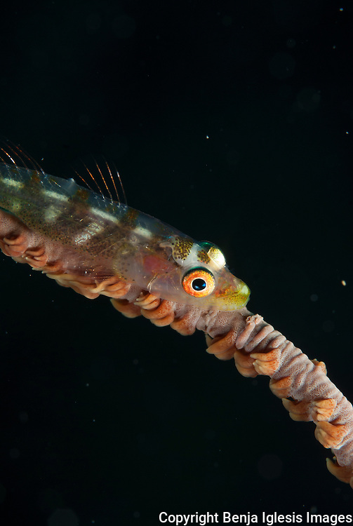 Portrait of a gorgonian goby at night, turtletown Maui Hawaii.