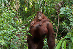 Bornean Orangutan (Pongo pygmaeus wurmbii) - mother and child. Baby orangutan has discarded plastic wrapper in his mouth.