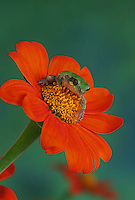 Green frog sitting in the middle of a bright red flower