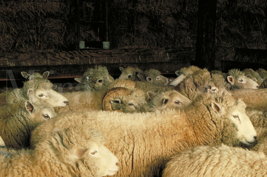 Ram peeking out from behind a herd of ewes, livestock.