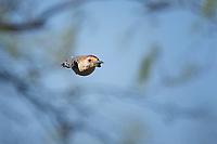 Ladder-backed Woodpecker, flight, San Angelo State Park