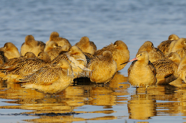 Flock of Marbled Godwits (Limosa fedoa) resting in shallow water Morro Bay, California.