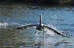 White Pelican Herding Fish, American White Pelican, Sepulveda Wildlife Refuge, Southern California