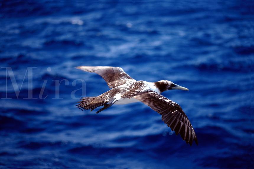 Brown booby Sula leucogaster plotus , Cabo San Lucas. Revillagigedos Islands. Mexico.