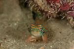 Picturesque Dragonet (Synchiropus picturatus). North Raja Ampat, West Papua, Indonesia