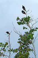 Turkey Vultures (Cathartes Aura) perched above on the branches of a tree, Maria la Gorda, Cuba.