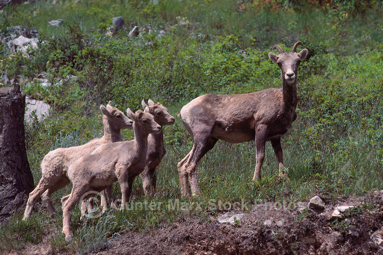 Rocky Mountain Bighorn Sheep Ewe and Lambs (Ovis canadensis) in Meadow along Icefields Parkway, Canadian Rockies, AB, Alberta, Canada