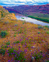 Pretty phacelia blooms above the Colorado River, Moab. Evening view from Moab.