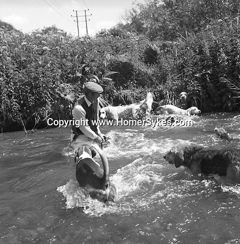 The Valley Minkhounds. Aidan Slatter takes the hounds across a fast flowing part of the river Kennet. Near Aldermaston, Berkshire. Hunting with Hounds / Mansion Editions (isbn 0-9542233-1-4) copyright Homer Sykes. +44 (0) 20-8542-7083. < www.mansioneditions.com >..