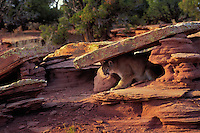 COUGAR/MOUNTAIN LION/PUMA..Cougars hide for hours waiting for prey to appear and then use their quick acceleration to pounce on their victim..Near Canyonlands National Park, Utah. Autumn. (Felis concolor).