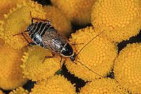 Echte Waldschabe, Wald-Schabe, Podas Waldschabe, Schabe, Ectobius sylvestris, Ectobius silvestris, Poda's cockroach, ectobid cockroach, Waldschaben, Schaben, Blattoptera, ectobid cockroaches