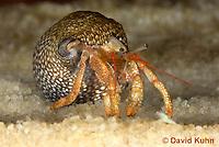 1206-0908  Aquatic, Underwater Hermit Crab, Dwarf Red Tip Hermit Crab, Clibanarius spp.  © David Kuhn/Dwight Kuhn Photography