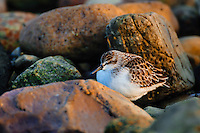 Least sandpiper (Calidris minutilla) in winter plumage along Atlantic Ocean shore. Gros Morne National Park, Newfoundland. Canada..