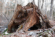 Decaying tree stump along the old Swift River Railroad in Waterville Valley, New Hampshire USA. This area was logged during the Swift River Railroad era, which was an logging railroad in operation from 1906 - 1916