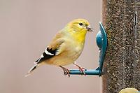 American goldfinch (Spinus tristis) songbird in winter at feeder Nova Scotia Canada