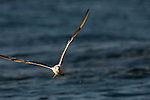 Greater Crested Tern (Thalasseus bergii) flying, Hawf Protected Area, Yemen
