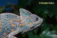 CH51-681z  Female Veiled Chameleon in display color, Chamaeleo calyptratus