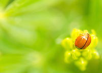 A fine art nature close-up of an orange ladybug resting on yellow lupine, with other green foliage out of focus in the background.