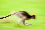 Eastern Red Colobus (Procolobus rufomitratus) running, Kibale National Park, western Uganda