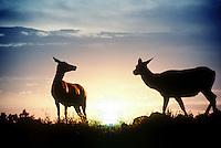 Elk or wapiti, Cervus canadensis, in sunset silhouette on hilltop in Wyoming