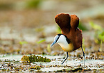 African Jacana (Actophilornis africanus) stretching wings on floating lily pads, Lake Albert, Toro-Semliki Wildlife Reserve, Western Rift Valley, Great Rift Valley, western Uganda