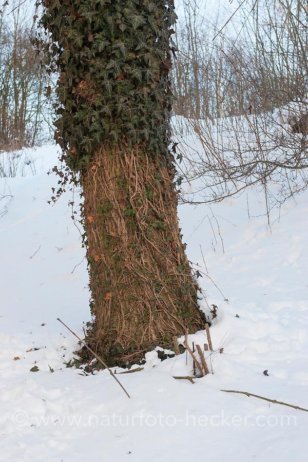 Reh hat bei Schnee, Schneelage in einem harten Winter Efeu abgefressen, Verbiss durch Reh, Reh-Wild, Spuren der Nahrungssuche, Verbiss-Schaden, Capreolus capreolus, roe deer