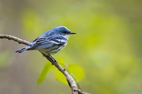 Cerulean Warbler (Setophaga cerulea), male in breeding plumage foraging on its breeding territory at Doodletown, Bear Mountain State Park, New York.