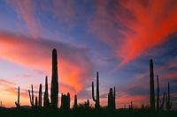 Saguaros at sunset near Alamo Wash<br /> Ajo Range<br /> Organ Pipe Cactus National Monument<br /> Sonoran Desert, Arizona