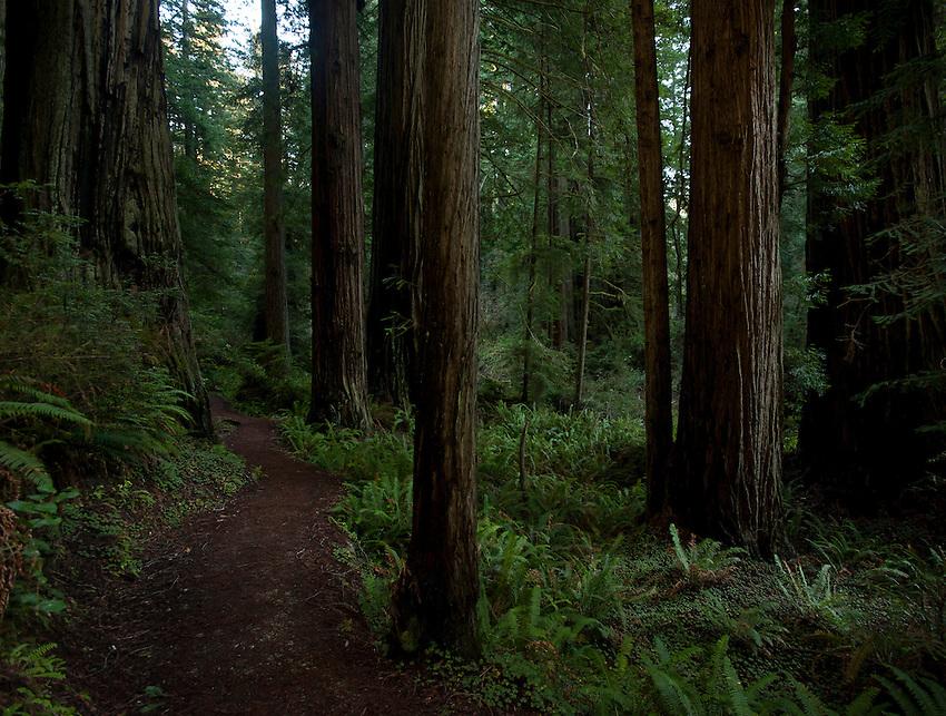 Trail through Coastal Redwoods in Northern California.