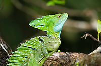 Green Basilisk, Basiliscus plumifrons, also known as the Jesus Christ lizard for its ability to walk on water. Tortuguero River (Rio Tortuguero) in Tortuguero National Park, Costa Rica