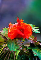 The hawaiian endangered kokia flower, (malvacea). The plant is endemic to kauai.