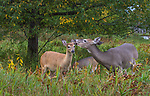 White-tailed doe grooming her fawn under a black cherry tree.