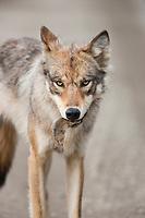 Wolf from the Grant Creek pack forages along the Denali Park road, Denali National Park, Interior, Alaska.