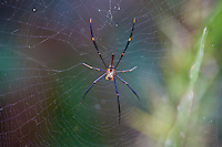 Spider, Lacey Creek, Queensland, Australia