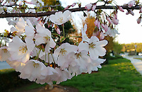 Stock photo: White cherry blossoms flower branch blossoming in front of a road on an evening in Spring in Georgia, USA.