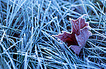 A frosted maple leaf