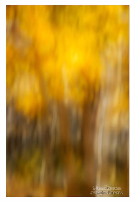 Van Gogh's Aspens, Boulder Mountain, Utah