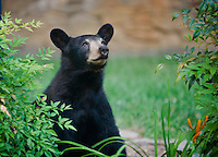 Black bear looking up at the sky in an urban garden in Asheville, NC