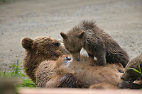 Brown bear sow nurses cub, Katmai National park, southwest, Alaska.