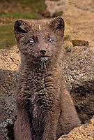 630650343v a wild chocolate brown arctic wolf pup alopex lagopus sits in its rockwork den on saint george island in the pribiloff islands southwest of alaska