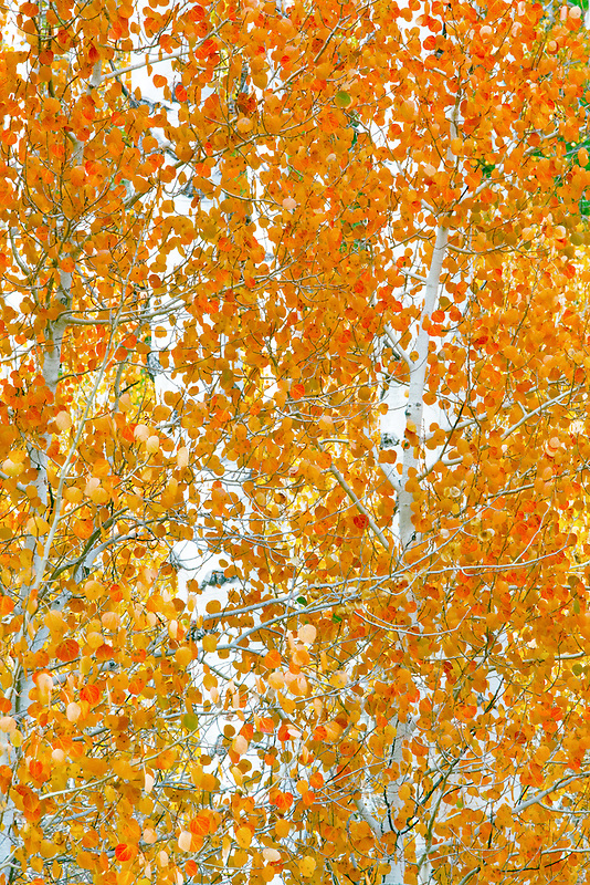 Close up of fall colored aspen trees. Inyo National Forest. California