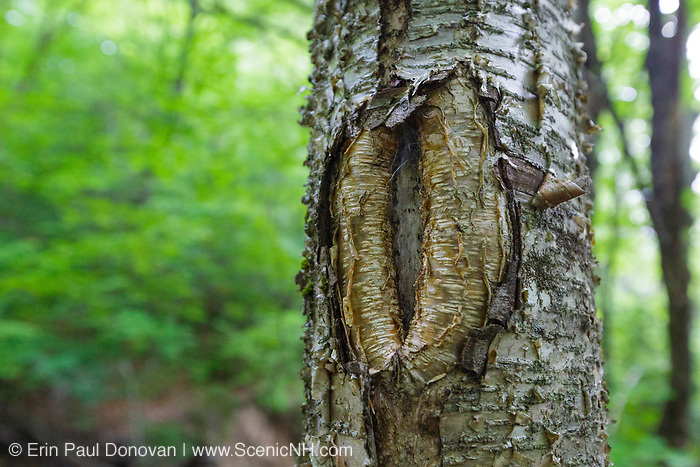 June 2018 - A tree wound on a birch tree along the Mt Tecumseh Trail in New Hampshire. This wound is from man not using proper protocol to remove a painted trail marker (blaze) from the tree. A  yellow trail blaze was painted on the tree in 2011, and then improperly removed from the tree in the spring of 2012. The bark, where the blaze was, was cut and peeled away creating a tree wound. See how it looked before it was removed: http://bit.ly/1Q4W1Pj