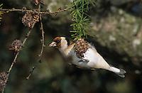 European Goldfinch, Carduelis carduelis, adult eating on cones of European Larch (Larix decidua) , Unteraegeri, Switzerland, Oktober 2004